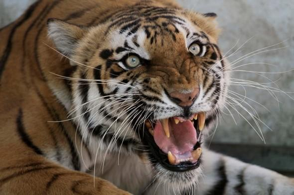 Tourist bus attacked by eight tigers in China