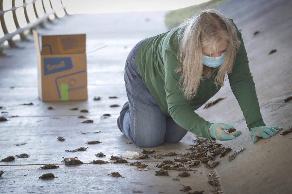 Diana Foss, Texas Parks and Wildlife Urban Wildlife Biologist attempts to find any surviving Mexican Free-tailed bats in a pile of dead bats at Waugh Drive in Buffalo Bayou Park, where it was impacted by the winter storm Monday, Feb. 22, 2021, in Houston. Foss, said that the winter bat colony is about 100,000. She said they were able to find about 20 bats that have fallen from the bridge that were still alive and they are attempting to save. (Steve Gonzales/Houston Chronicle via AP)
