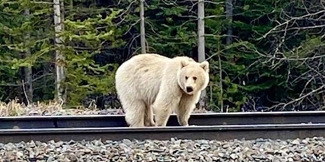 An Incredibly Rare White Grizzly Bear Was Spotted in Banff, Canada