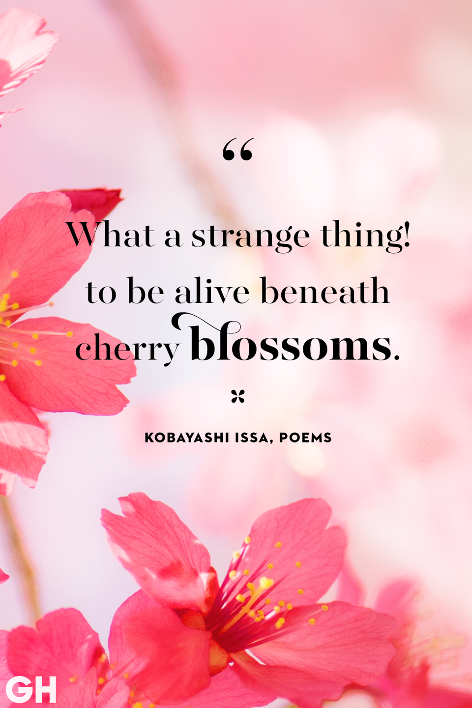 <p>What a strange thing! to be alive, beneath cherry blossoms.</p>