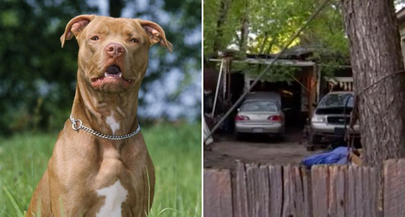 A file picture of a pit bull on the left and on the right is the backyard where a boy, 16, was mauled to death by three pit bulls in Irving, Texas.