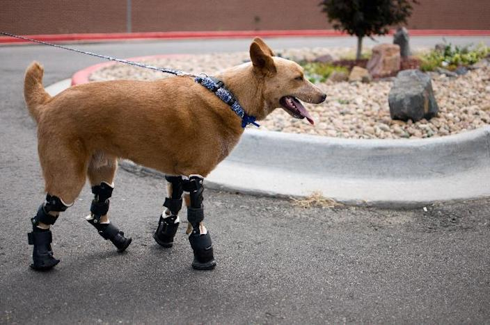 In this August 26, 2011photo provided by OrthoPets, shows Naki'o, a red heeler mix breed, the first dog to receive four prosthetic limbs at Denver, Colo. Naki'o was found in the cellar of a Nebraska foreclosed home with all four legs and its tail frozen in puddles of water-turned-ice. What frostbite didn't do, a surgeon did, amputating all four legs and giving him four prosthetics. (AP Photo/OrthoPets, Lindsey Mladivinich)