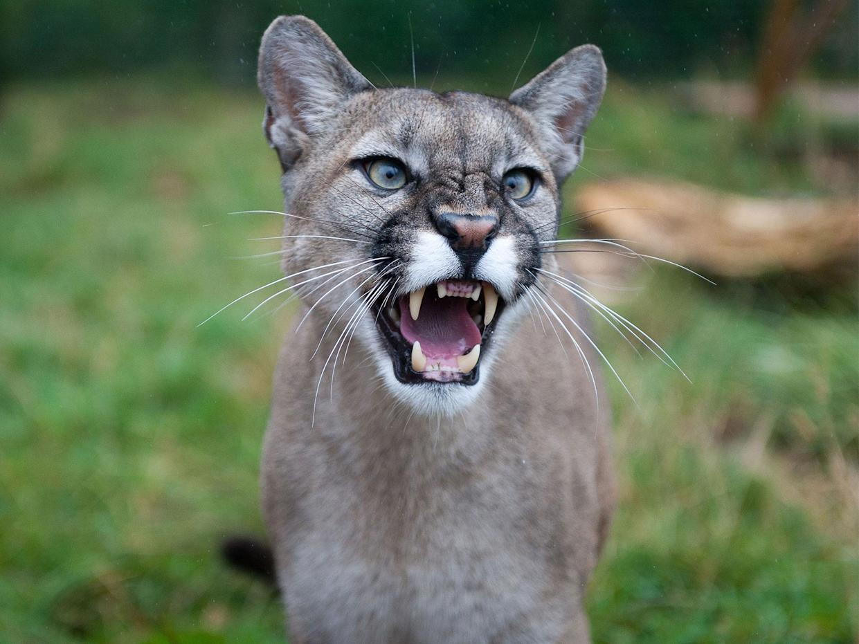 Cougars are not known to usually attack humans unless cornered: Rex