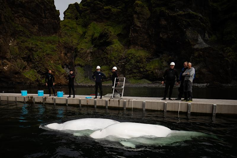 Beluga Whales Little Grey and Little White swim in the bayside care pool where they are acclimatising to the natural environment of their new home at the open water sanctuary in Klettsvik Bay in Iceland. The two Beluga whales, named Little Grey and Little White, are being moved to the world's first open-water whale sanctuary after travelling from an aquarium in China 6,000 miles away in June 2019.