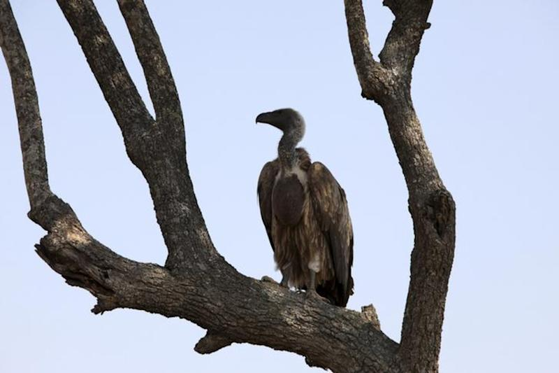 Vulture Population in India Down by 99.95% Since the 1980s, Government Tells Parliament