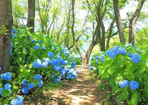 The fresh blue color follows the lake's shore on the hydrangea path.