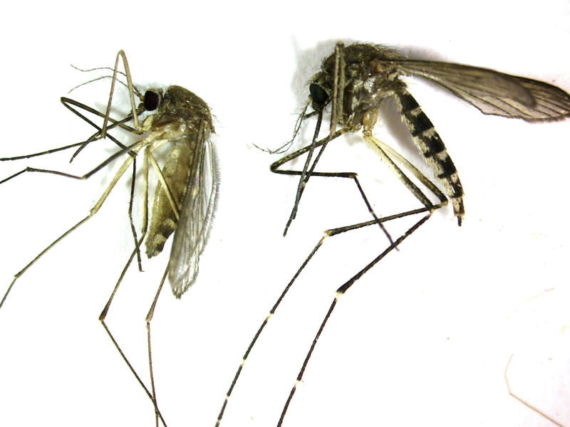 This undated photo provided by the Northwest Mosquito Abatement District  shows a Culex pipiens, left, the primary mosquito that can transmit West Nile virus to humans, birds and other animals. It is produced from stagnant water.The bite of this mosquito is very gentle and usually unnoticed by people. At right is an Aedes vexans, primarily a nuisance mosquito produced from freshwater. It is a very aggressive biting mosquito but not an important transmitter of disease. (AP Photo/courtesy the Northwestern Mosquito Abatement District)