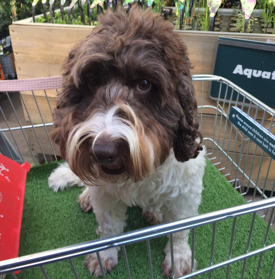 A dog is pictured sitting in a trolley at a Bunnings Warehouse in Melbourne.