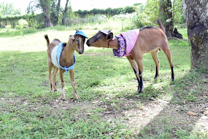 Nature lovers staying at the Sunset at the Palms in Negril, Jamaica, can meet the goats that call the hotel home.