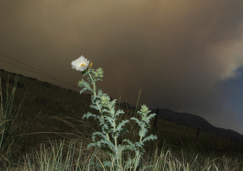 A flower stands along Larimer County Road 74W as a wildfire continues to burn near Livermore, Colo., on Saturday, June 23, 2012. Authorities sent out 992 evacuation notices Friday due to the wildfire burning on more than 100 square miles in northern Colorado as winds pick up. (AP Photo/David Zalubowski)