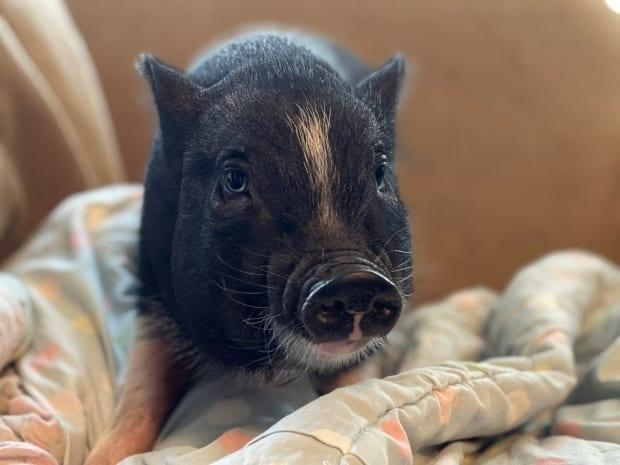 Eunice is a seven-pound pot-bellied piglet that was brought in to the Saskatoon SPCA.  (Jemma Omidian - image credit)