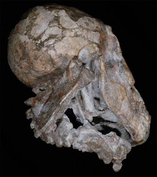 A view of 3-year-old human ancestor Selam's cranium and mandible, with the vertebrae and complete right scapula visible.