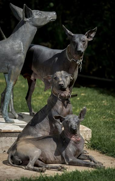 Xoloitzcuintles were able to survive largely thanks to the mountains in southern Mexico, where they lived in the wild before being re-domesticated by indigenous farmers (AFP Photo/Omar TORRES)