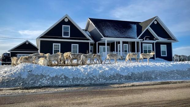 Caribou don't particularly care for human property boundaries. These animals were grazing in Joe Batt's Arm earlier this month.