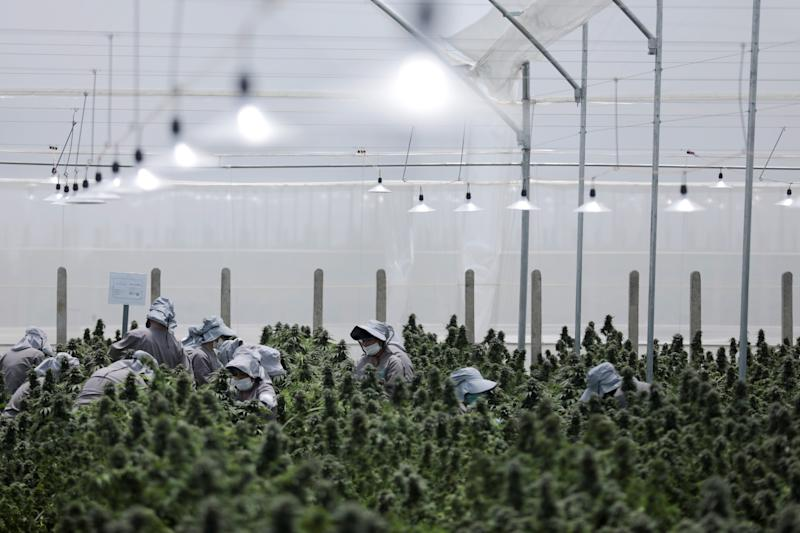 Employees of the Clever Leaves company work inside a cannabis plantation, in a greenhouse in Pesca, Colombia October 2, 2019. Picture taken October 2, 2019. REUTERS/Luisa Gonzalez