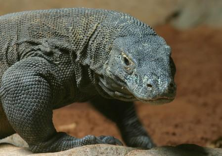 Genome study finds roots of Komodo dragon's tenaciousness