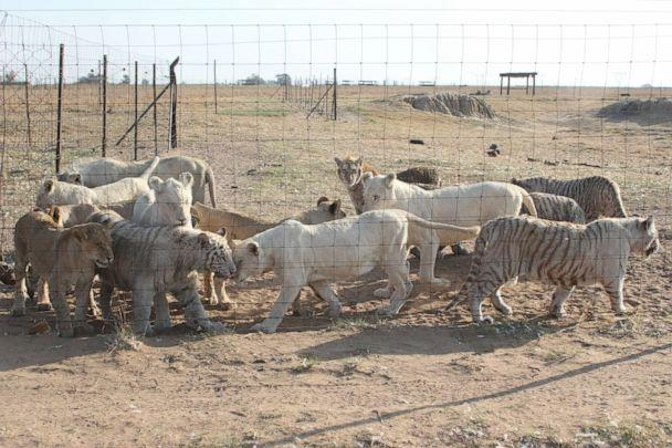 PHOTO: Captive-bred lions, tigers and other big cats are seen in an enclosure at the Letsatsi La Africa wildlife park in Free State province, South Africa. (EMS Foundation)