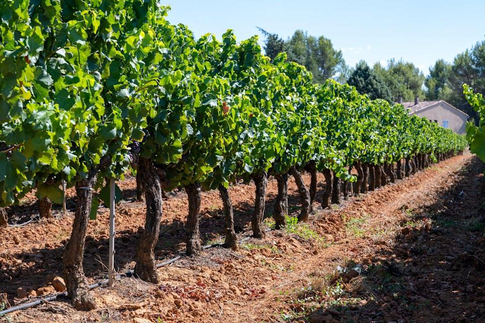 Vineyards with red clay soil
