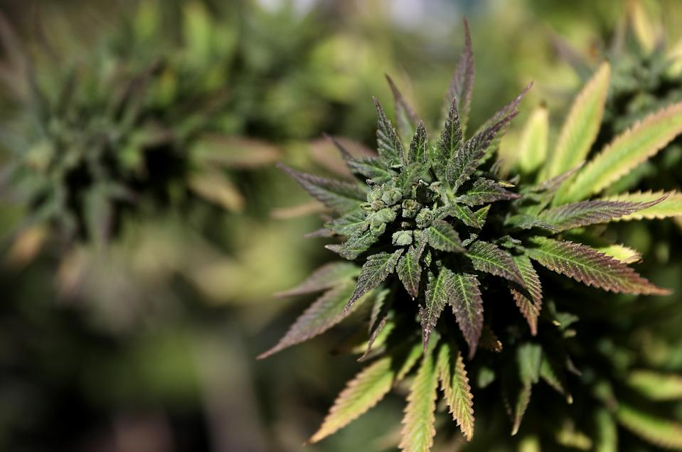 Marijuana plants in San Francisco. (Getty Images)