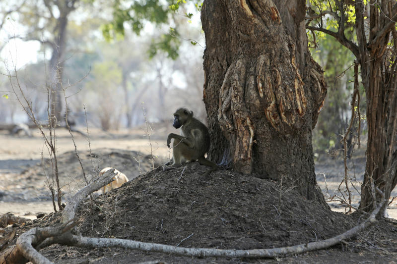 "In this Oct, 27, 2019, photo, a baboon sits under a tree in Mana Pools National Park, Zimbabwe. Elephants, zebras, hippos, impalas, buffaloes and many other wildlife are stressed by lack of food and water in the park, whose very name comes from the four pools of water normally filled by the flooding Zambezi River each rainy season, and where wildlife traditionally drink. The word ""mana"" means four in the Shona language. (AP Photo/Tsvangirayi Mukwazhi)"