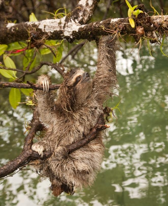 Also known as the 'dwarf sloth', the pygmy sloth lives off the coast of Panama and is critically endangered. Their exact population is not known, but it is feared there could be as few as 300 left in the world. (Craig Turner/ZSL)