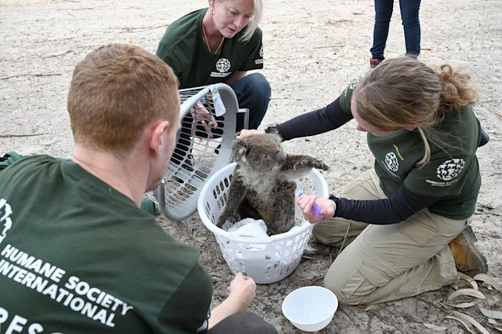 Kelly Donithan checks an injured koala rescued on Kangaroo Island. (Photo: PETER PARKS via Getty Images)