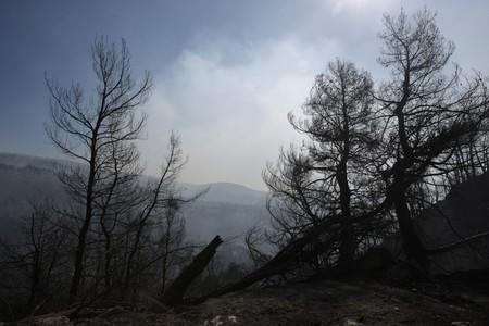Burned trees are seen following a wildfire near the village of Stavros on the island of Evia