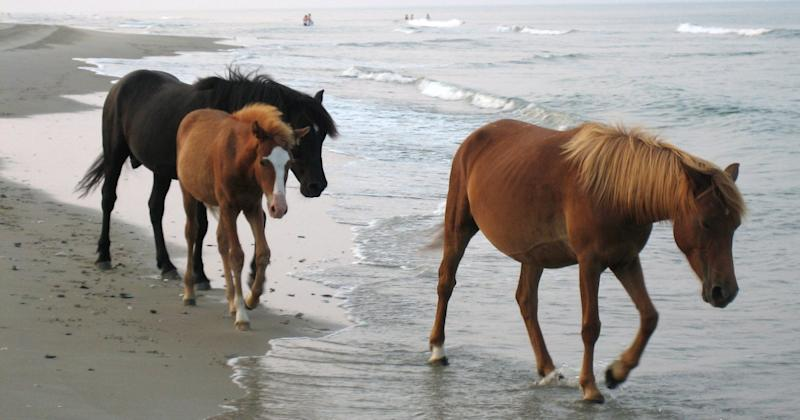 Wild Horses of North Carolina's Outer Banks Will Ride Out