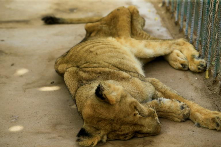 Lions are classified as a 'vulnerable' species by the International Union for Conservation of Nature (IUCN) (AFP Photo/ASHRAF SHAZLY)