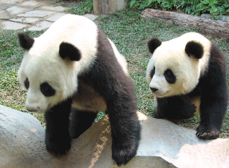 File- In this Nov. 2003. file photo, the two giant pandas Chuang Chuang, left, and Lin Hui, are seen in their cage in the Chiang Mai Zoo in Chiang Mai province, northern Thailand. Officials said Chuang Chuang collapsed Monday, Sept. 16, 2019, in his enclosure at the Chiang Mai Zoo shortly after standing up following a meal of bamboo leaves. (AP Photo/Wichhai Tapeiru. file)