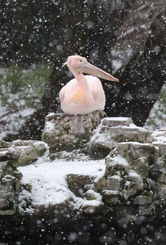 A pelican watches the snow fall in St James's Park, London