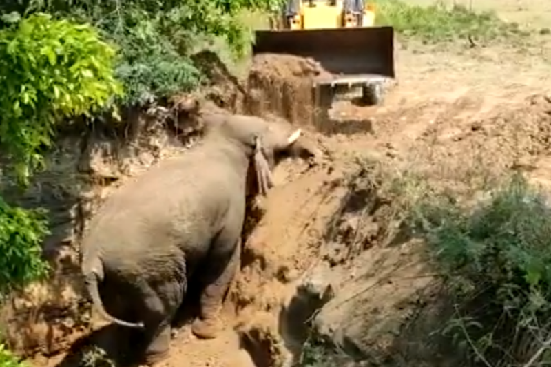 Watch: Rescuers Celebrate as Elephant Climbs Out Of 15-Foot Ditch In Chittoor