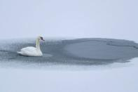 A swan is seen on ice near the bank of a water reservoir outside Ostroh
