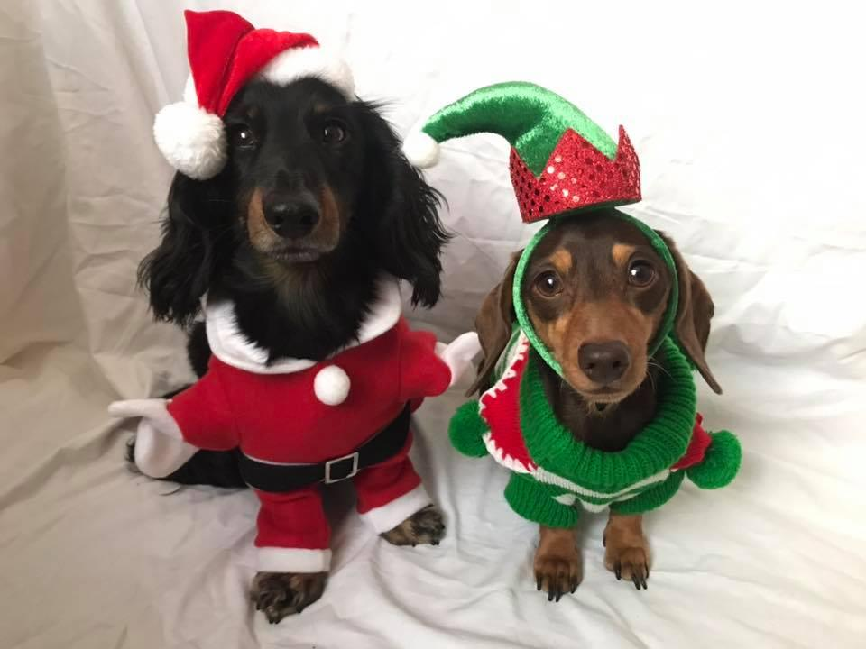 <p>These dachshunds featured on Photobox's Pawsome Gallery with their festive costumes (Picture: Facebook/Photobox) </p>