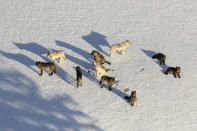 FILE - This March 21, 2019, aerial file photo provided by the National Park Service shows the Junction Butte wolf pack in Yellowstone National Park, Wyo. Wolves have repopulated the mountains and forests of the American West with remarkable speed since their reintroduction 25 years ago, expanding to more than 300 packs in six states. (National Park Service via AP, File)