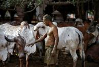 """Uddhav Bhatia touches a cow after applying cow dung on his body during """"cow dung therapy"""" on outskirts of Ahmedabad"""