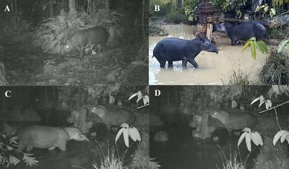 Camera trap images show tapirs feeding in an area of the Peru rainforest contaminated by an oil spill. Oil was found in animal feces in the same area.