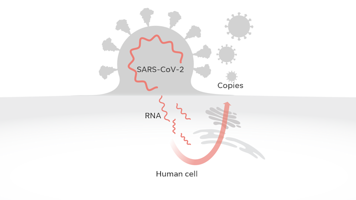 Once inside, the virus's RNA reprograms the cell to produce large quantities of the virus, which eventually are released from the cell.