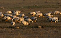 Bar-headed geese are feed at the Pong Dam wetlands in Nagrota Suriyan, about 65km (40 miles) south of Dharmsala, India, Tuesday, Dec. 10, 2019. These birds migrate to the wetlands from Siberia and Tibet each winter. The Pong Wetlands host and support hundreds of migratory bird species in the winter months. (AP Photo/Ashwini Bhatia)