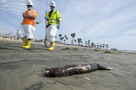 Workers in protective suits walk by as dead marine life washed off on a beach after an oil spill in Newport Beach, Calif., on Wednesday, Oct. 6, 2021. A major oil spill off the coast of Southern California fouled popular beaches and killed wildlife while crews scrambled Sunday, to contain the crude before it spread further into protected wetlands. (AP Photo/Ringo H.W. Chiu)