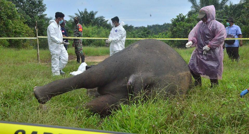 Officials work at the scene where a critically endangered Sumatran elephant was found decapitated with its tusks missing in Banda Alam, East Aceh, on July 12, 2021. (Photo by Cekmad / AFP) (Photo by CEKMAD/AFP via Getty Images)