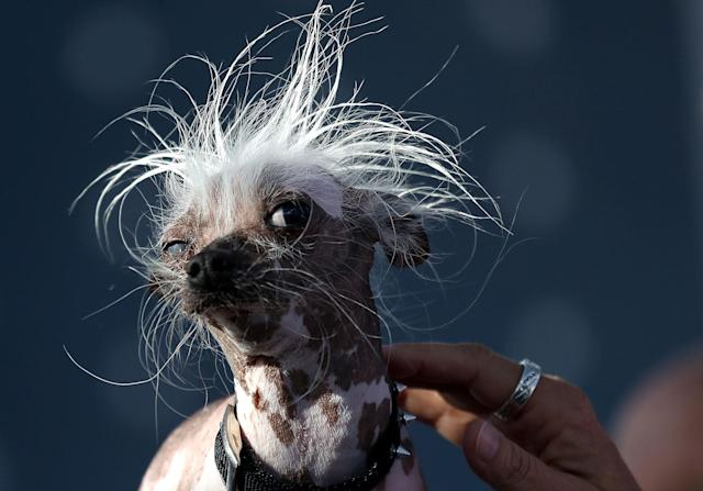 <p>A Chinese crested dog named Rascal looks on during the 2017 World's Ugliest Dog contest at the Sonoma-Marin Fair on June 23, 2017 in Petaluma, Calif. (Photo: Justin Sullivan/Getty Images) </p>