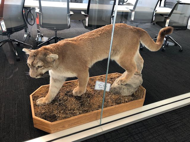 This is the wild cat -- likely a mountain lion -- that was donated to the Northwestern program by the father of former Wildcats QB Trevor Siemian.