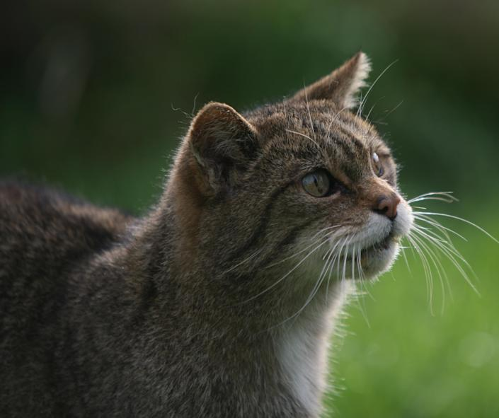 A quarter of Britain's native mammal species – including wildcats (pictured), red squirrels and beavers – are at risk of extinction, a new assessment warns. (PA)