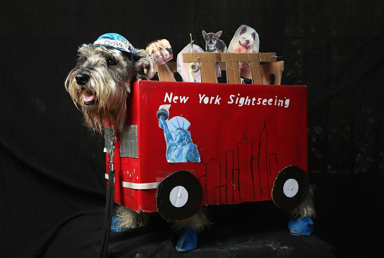NEW YORK, NY - OCTOBER 20:  Nacho, a four-year-old Schnauzer, poses as a New York sightseeing bus driver at the Tompkins Square Halloween Dog Parade on October 20, 2012 in New York City. Hundreds of dog owners festooned their pets for the annual event, the largest of its kind in the United States. (Photo by John Moore/Getty Images)