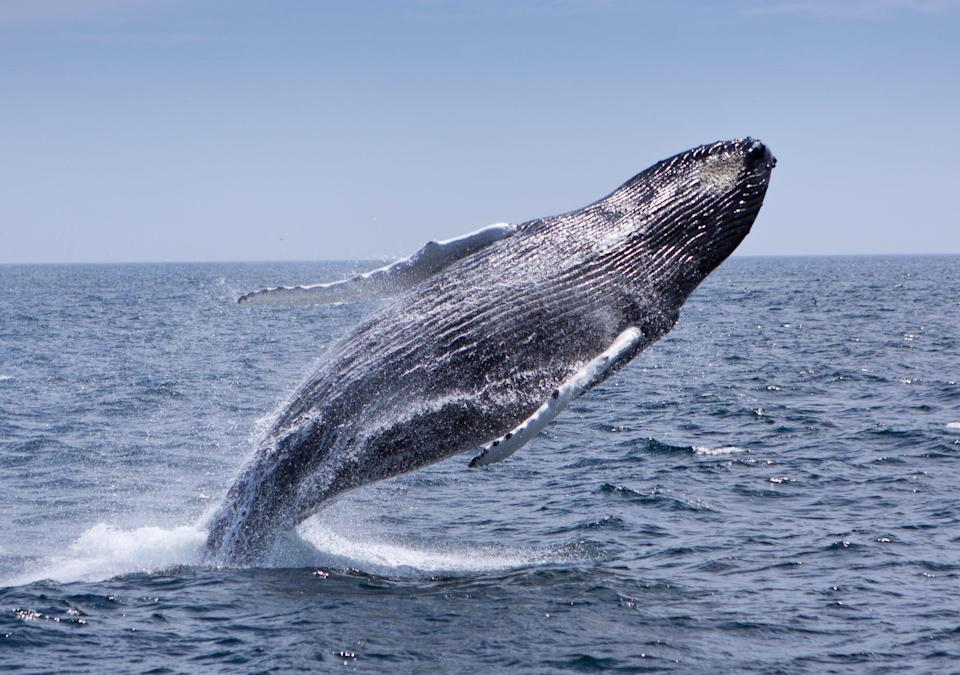<p>From April to October, Provincetown, Mass. — known for its thriving LGBTQ+ scene and lovely Cape Cod setting—is a prime <span>whale-watching destination</span>. </p>
