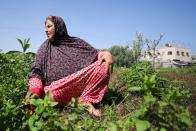 Gazans extract essential oils from aromatic herbs to make cosmetics