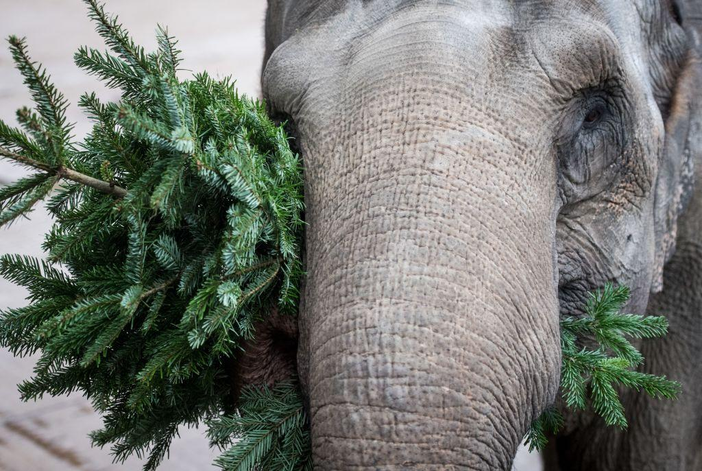 <p>Female elephant Rada plays with a Christmas tree at the Allwetterzoo Zoo in Muenster, western Germany. (Bernd Thissen/AFP/Getty Images) </p>