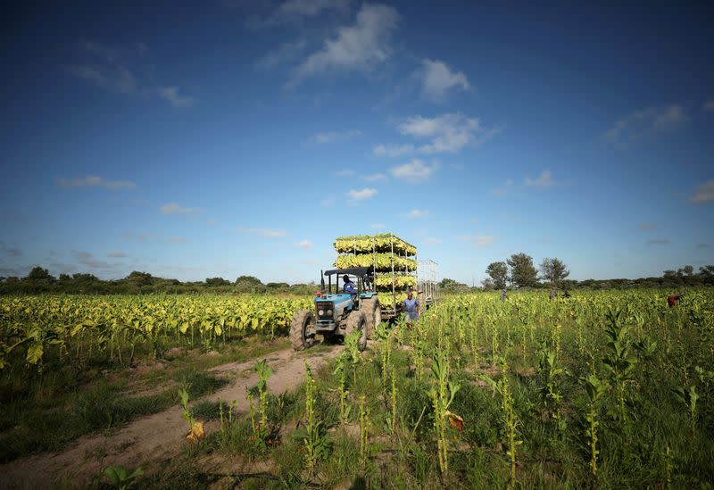 FILE PHOTO: Workers harvest tobacco at a farm outside Harare