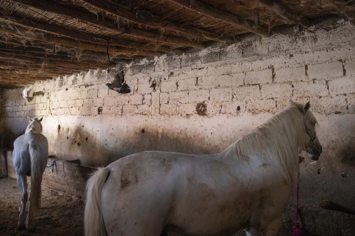 Birds fly as horses that are used to drive tourists around rest in a stables in Marrakech, Morocco, Wednesday, July 22, 2020. (AP Photo/Mosa'ab Elshamy)